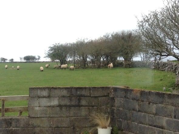 Sheep-West-Coast-Ireland